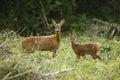 Roe deer, Capreolus capreolus Royalty Free Stock Photo