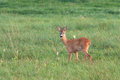 Roe deer capreolus capreolus male Stock Photography
