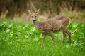 Roe deer chewing grass wild female in a lush meadow Royalty Free Stock Photography