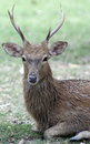 Roe deer in chiang mai Royalty Free Stock Photos