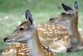 Roe deer in chiang mai Stock Images