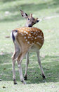 Roe deer in chiang mai Stock Photography