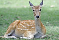 Roe deer in chiang mai Royalty Free Stock Photo