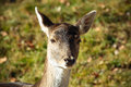 Roe deer a close up of a Royalty Free Stock Photos