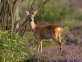 Roe deer doe Royalty Free Stock Photo