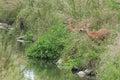 Roe deer with doe