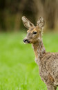 Roe deer doe close up wild during the spring moult Stock Photos