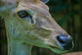 Roe deer doe the closeup photo Stock Image