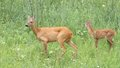Roe deer doe and fawn in the grass capreolus standing attentive Stock Images