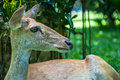 Roe deer doe the on the green grass Royalty Free Stock Image