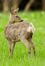 Roe deer doe moulting looking over her shoulder in a green meadow Royalty Free Stock Photo