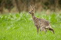 Roe deer doe urinating wild during the spring moult in lush green meadow Royalty Free Stock Photos