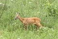 Roe deer doe walking capreolus tranquil in the big green grass Stock Photography