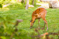 Roe deer eating fresh grass on the meadow. Wildlife, animals, zoo and mammals concept Royalty Free Stock Photo