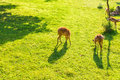 Roe deer eating fresh grass on the meadow, top view. Wildlife, animals, zoo and mammals concept Royalty Free Stock Photo