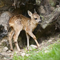 Roe deer Fawn - Capreolus capreolus (15 days old) Royalty Free Stock Photos