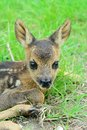 Roe deer fawn capreolus capreolus Royalty Free Stock Photos