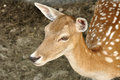 Roe deer fawn close up shot of a Stock Photography