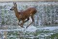 Roe Deer female (Capreolus capreolus) Royalty Free Stock Photo