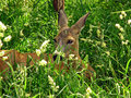 Roe deer a female lying in the grass Royalty Free Stock Image
