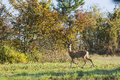 Roe deer female young on pasture Royalty Free Stock Photo