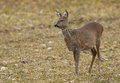 Roe deer in field doe chewing grass farmland Stock Images