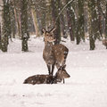 Roe deer in a forest on a snowy winter day Stock Image