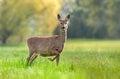 Roe deer in gestation period Royalty Free Stock Photo