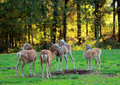 Roe deer group standing in the forest Royalty Free Stock Photo