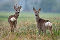 Roe deer photo of couple Stock Photography