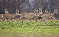 Roe deer photo of deers running Royalty Free Stock Images