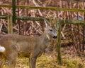 Roe deer portrait Royalty Free Stock Photo