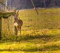 Roe deer portrait. Royalty Free Stock Photo