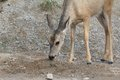 Roe deer and salt Royalty Free Stock Images