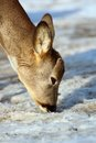 Roe deer searching for food Stock Image