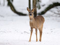 Roe-deer in snow Stock Photography