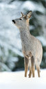 Roe deer on snow at winter Royalty Free Stock Photo