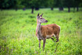 Roe deer is standing in the park Stock Images