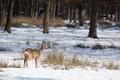 Roe deer in winter female on a snowy white meadow before the forest Royalty Free Stock Photos