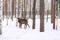 Roe deer in the winter in forest a Stock Image