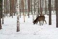 Roe deer in the winter in forest a Stock Photos