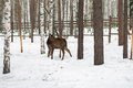 Roe deer in the winter in forest a Royalty Free Stock Photography