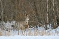 Roe deer in wintertime Royalty Free Stock Images
