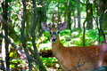 Roe deer in the woods saw man and looked at him wary glance Royalty Free Stock Photography