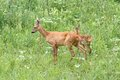Roe deers in big grass family of doe and calf standing the summer Stock Photography