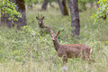 Roe deers in a forest female doe deer and male buck background Stock Images