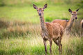Roe deers is standing in the park Royalty Free Stock Image