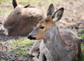 Roe doe resting Royalty Free Stock Photo