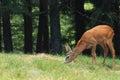 Roe orecchiella mammals horns herbivore Stock Image