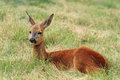 Roe orecchiella mammals horns herbivore Royalty Free Stock Images